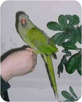 Parakeet - Quaker for adoption in Creston, Illinois - Fry