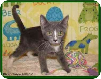 Domestic Shorthair Kitten for Sale in Orlando, Florida - Hamilton