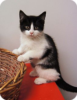 Domestic Shorthair Kitten for Sale in Colorado Springs, Colorado - Obi