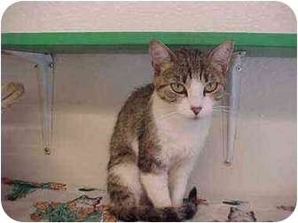 Domestic Shorthair Cat for adoption in El Cajon, California - Mummies