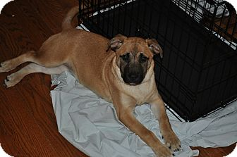 Shepherd (Unknown Type)/Labrador Retriever Mix Puppy for Sale in Baltimore, Maryland - Abbey