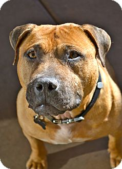 Pit Bull Terrier/Staffordshire Bull Terrier Mix Dog for adption in Phoenix, Arizona - Spirit