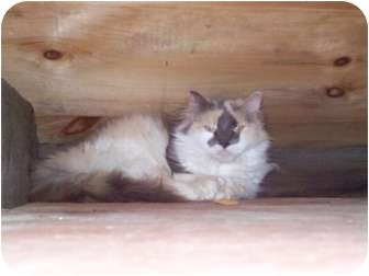 Domestic Mediumhair Cat for Sale in Portland, Maine - Virgina