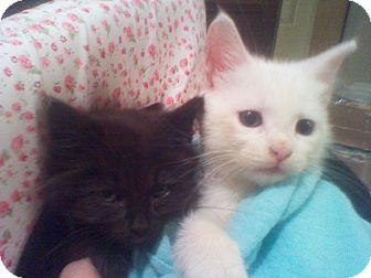 Domestic Mediumhair Kitten for Sale in Harrisburg, North Carolina - Jeepers and Peepers