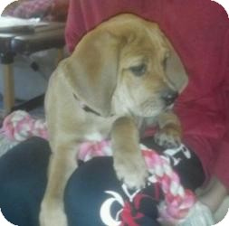 Beagle/Basset Hound Mix Puppy for Sale in Marlton, New Jersey - Macey