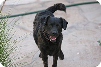 Labrador Retriever/Cocker Spaniel Mix Dog for adption in Scottsdale, Arizona - Benny