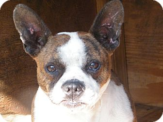 Boston Terrier Mix Dog for Sale in manasquam, New Jersey - Pru