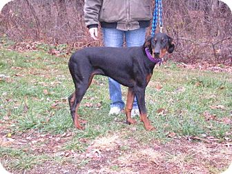 Doberman Pinscher Dog for Sale in New Castle, Pennsylvania -