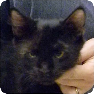 Domestic Mediumhair Kitten for adoption in Naples, Florida - Sammy