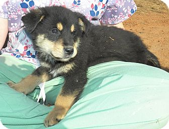 Shepherd (Unknown Type) Mix Puppy for Sale in Sussex, New Jersey - Major