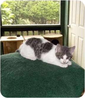 Domestic Shorthair Cat for adoption in Makawao, Hawaii - Marissa