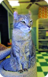 American Curl Cat for adoption in Toledo, Ohio - FARRIA