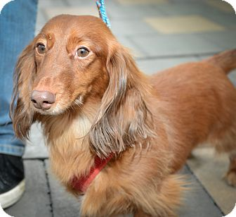 Dachshund Dog for Sale in New York, New York - King