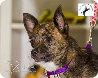 Chihuahua/Jack Russell Terrier Mix Dog for Sale in San Diego, California - Lupita