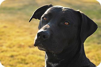 Labrador Retriever/Boxer Mix Dog for Sale in Boise, Idaho - Montana