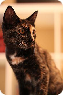 Domestic Shorthair Cat for Sale in Edmond, Oklahoma - Brin