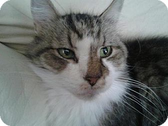 Maine Coon Cat for adoption in Glendale, Arizona - Leo