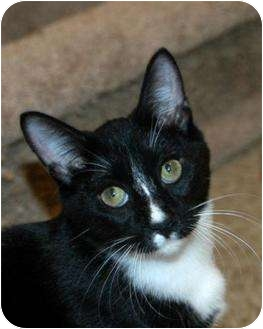 Domestic Shorthair Kitten for adoption in Houston, Texas - Bamm Bamm