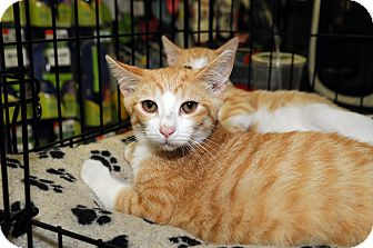 Domestic Shorthair Cat for Sale in Farmingdale, New York - Flannigan