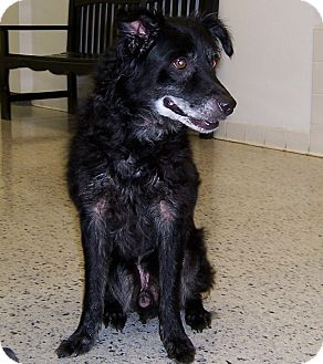 Schipperke/Border Collie Mix Dog for Sale in Cincinnati, Ohio - Friday