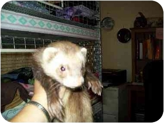 Ferret for Sale in San Marcos, Texas - AMMO
