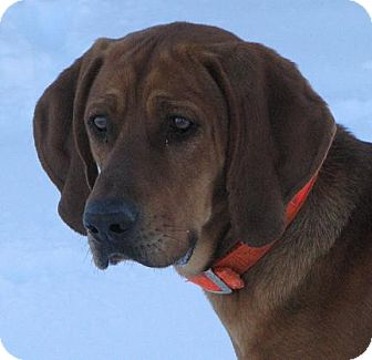 Redbone Coonhound Mix Dog for Sale in Lisbon, Ohio - Abraham