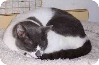 Domestic Shorthair Cat for adoption in Simms, Texas - Zorro
