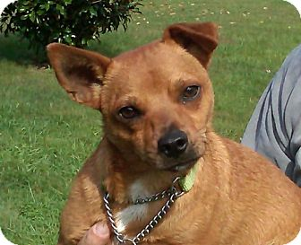 Basenji Mix Dog for adption in Catharpin, Virginia - Chip
