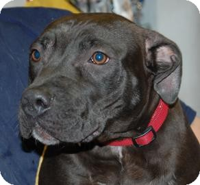 Pit Bull Terrier Mix Dog for adption in Brooklyn, New York - Rocky
