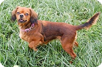 Cavalier King Charles Spaniel Mix Dog for Sale in Aurora, Illinois - Paris