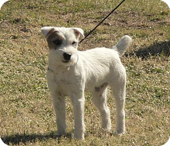 Jack Russell Terrier Dog for Sale in Scottsdale, Arizona - LILLIE LANGTRY