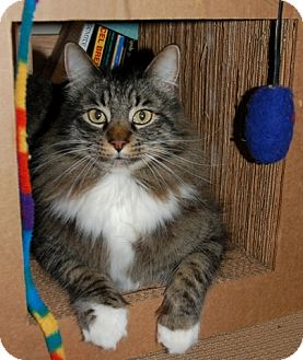 Maine Coon Cat for Sale in Vacaville, California - Suleiman