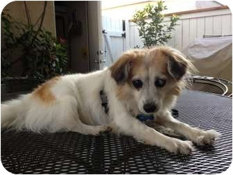 Chihuahua/Tibetan Spaniel Mix Dog for adption in Van Nuys, California - *URGENT* Tea
