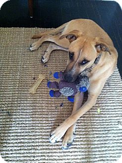 Shepherd (Unknown Type)/Hound (Unknown Type) Mix Dog for Sale in Los Angeles, California - Mary- Gentle Sweetheart!
