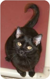 Domestic Shorthair Cat for adoption in Las Vegas, Nevada - Onyx