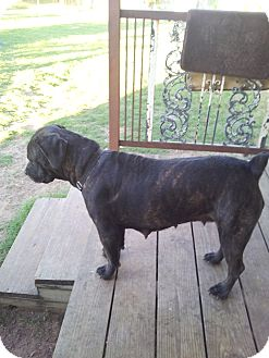 Cane Corso Dog for adption in Granbury, Texas - Roxy