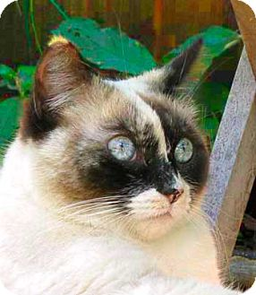 Snowshoe Cat for Sale in Vacaville, California - Blossom