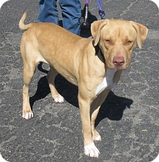 Labrador Retriever/American Pit Bull Terrier Mix Dog for Sale in San Diego, California - Merri URGENT