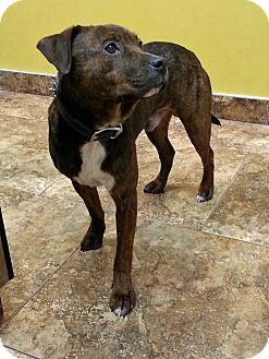 Pit Bull Terrier/German Shepherd Dog Mix Puppy for adption in Cedar Rapids, Iowa - Davey