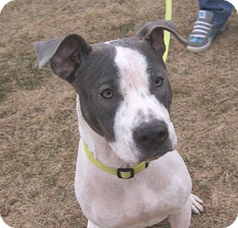 Pit Bull Terrier Mix Dog for Sale in Chicago, Illinois - Delaine