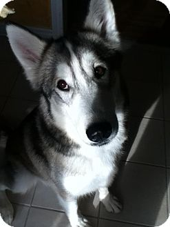 Alaskan Malamute/Husky Mix Dog for adption in Emsdale (Huntsville), Ontario - Stryder - Ready for Adoption!