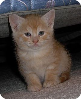 Domestic Shorthair Kitten for Sale in Sterling, Virginia - Mandarin