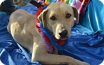 Rhodesian Ridgeback/Labrador Retriever Mix Dog for adption in San Diego, California - Nene
