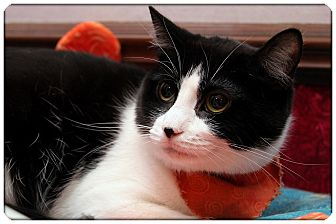 Domestic Shorthair Cat for adoption in Sterling Heights, Michigan - Sasha
