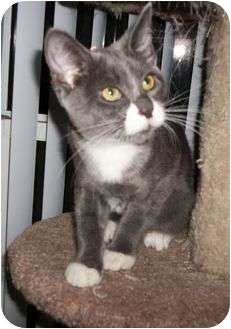 Domestic Shorthair Cat for adoption in Cocoa, Florida - Whiskers