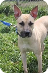 Shepherd (Unknown Type)/Boxer Mix Dog for Sale in Dover, Ohio - Zeppelin