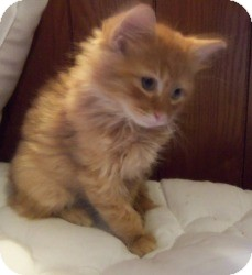Maine Coon Kitten for Sale in Ennis, Texas - Leandro