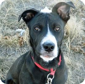 Border Collie/Pit Bull Terrier Mix Dog for Sale in Cheyenne, Wyoming - Chewy