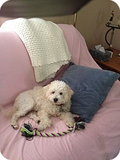 Bichon Frise/Poodle (Miniature) Mix Dog for Sale in Norwalk, Connecticut - Lucky