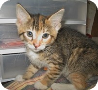 Domestic Shorthair Kitten for Sale in Shelton, Washington - Ailsa